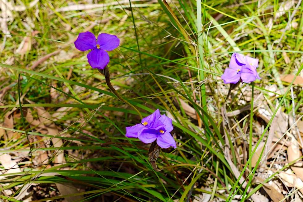 Morton National Park - Wildblumen bei der Pigeon House Mountain Besteigung - New South Wales