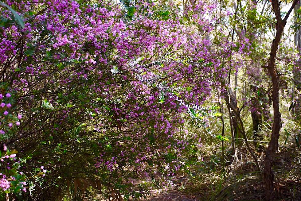 Pigeon House Mountain - Faszinierende Wildblumen & Blütenmeer am Wegesrand im Frühling - Morton National Park - New South Wales