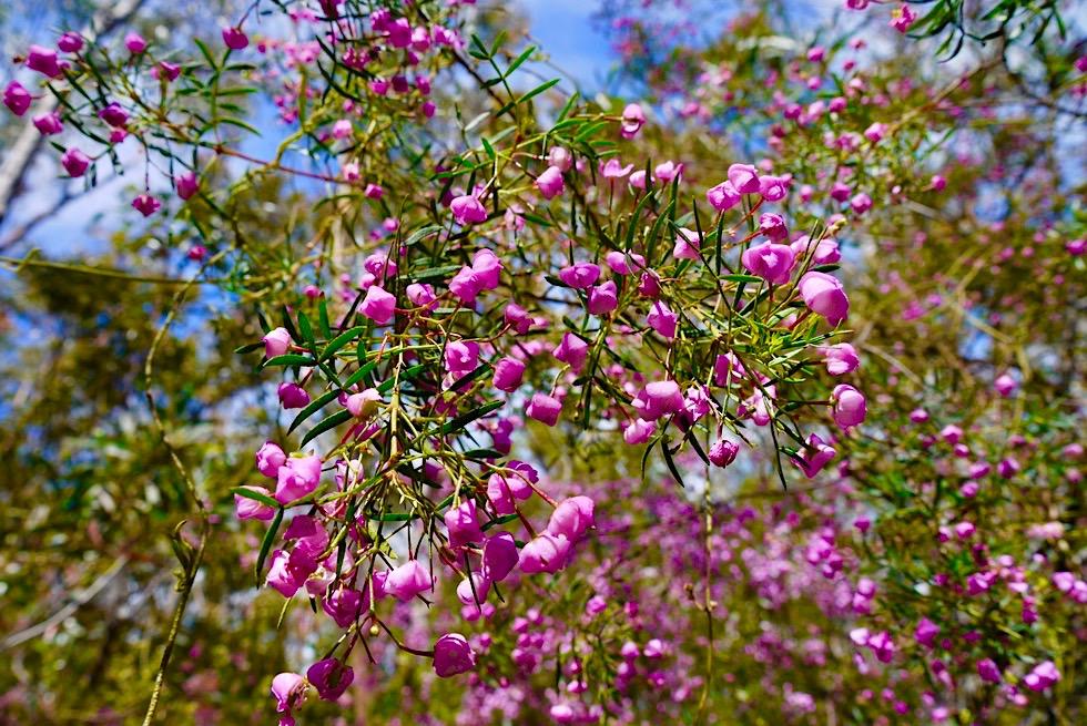 Pigeon House Mountain - Wunderschöne Wildblumen & blühende Büsche - Morton National Park im Frühling - New South Wales