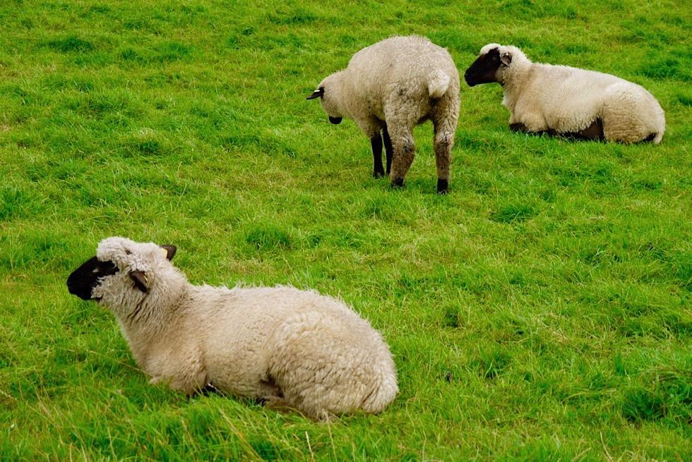 Schafe - Wichtig für Stabilität der Deiche - Krummhörn - Ostfriesland