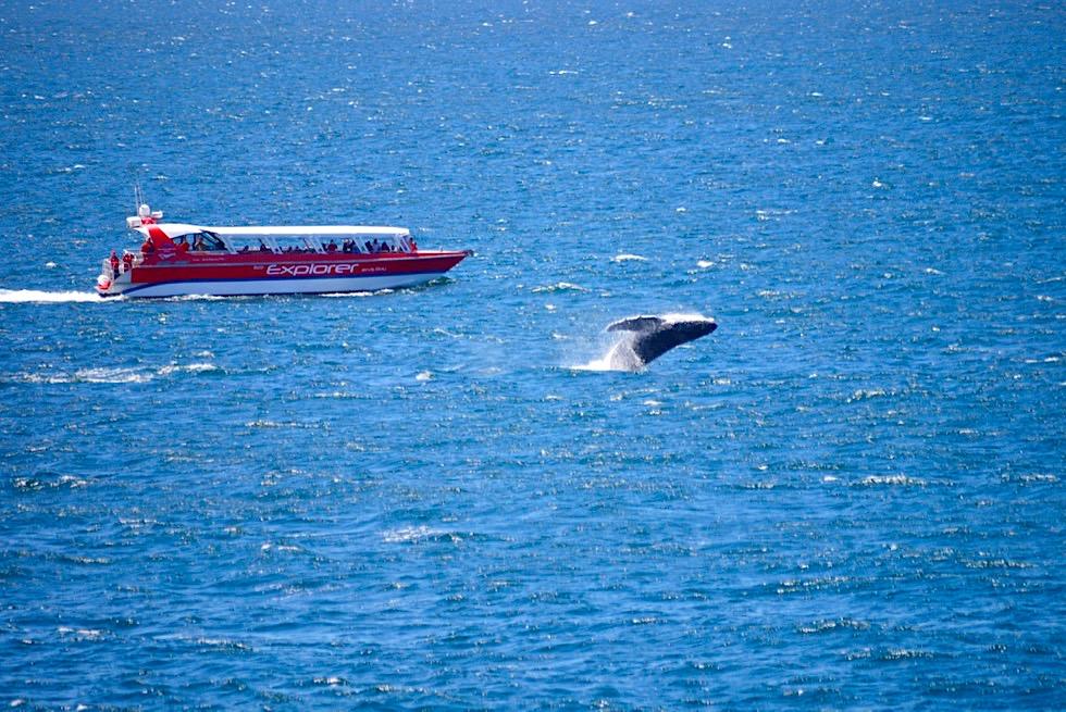 Faszination Buckelwale: Wale beim Breachen & Springen beobachten an der South Coast von New South Wales