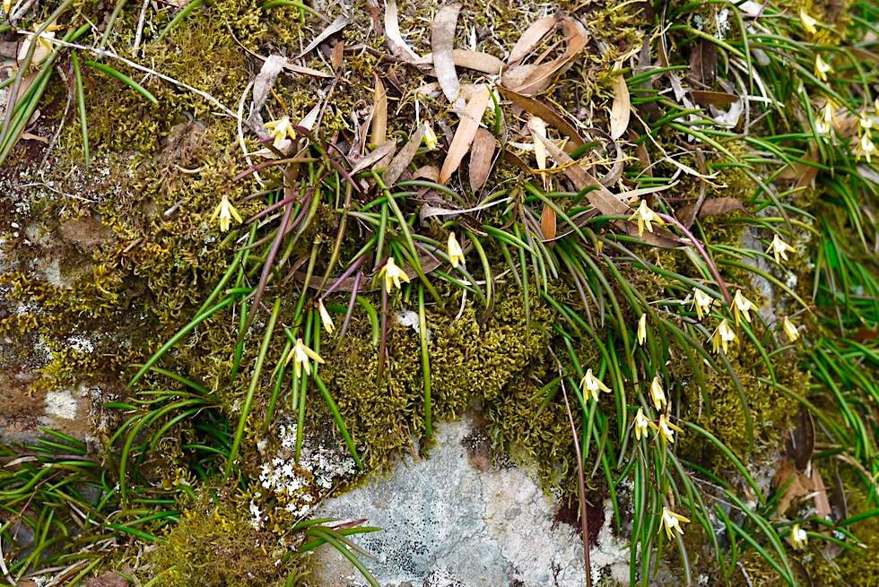 Wildblumen im Frühling - Auf dem Gipfel des Didthul / Pigeon House Mountain im Morton National Park - New South Wales