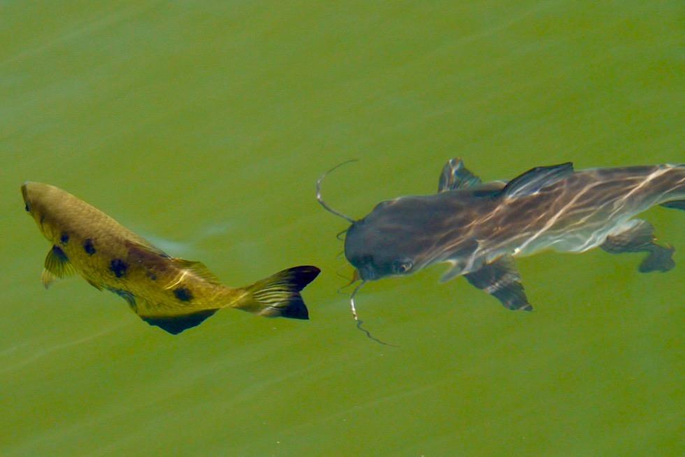 Archer Fish oder Schützenfisch: spuckende Fische nutzen Wasserstrahl zum jagen - Chamberlain River Cruise - El Questro - Western Australia