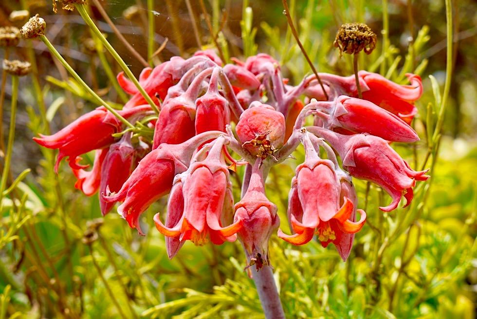 Banks Peninsula Roadtrip: Herrliche Blütenpracht am Wegesrand und auf Wanderwegen - Chanterbury - Südinsel Neuseeland