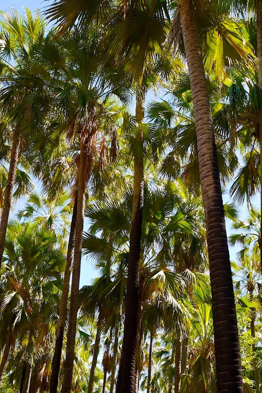 El Questro Wilderness Park - Riesige Livistonia Palmen spenden Schatten bei den Zebedee Thermal Springs - Kimberley - Western Australia