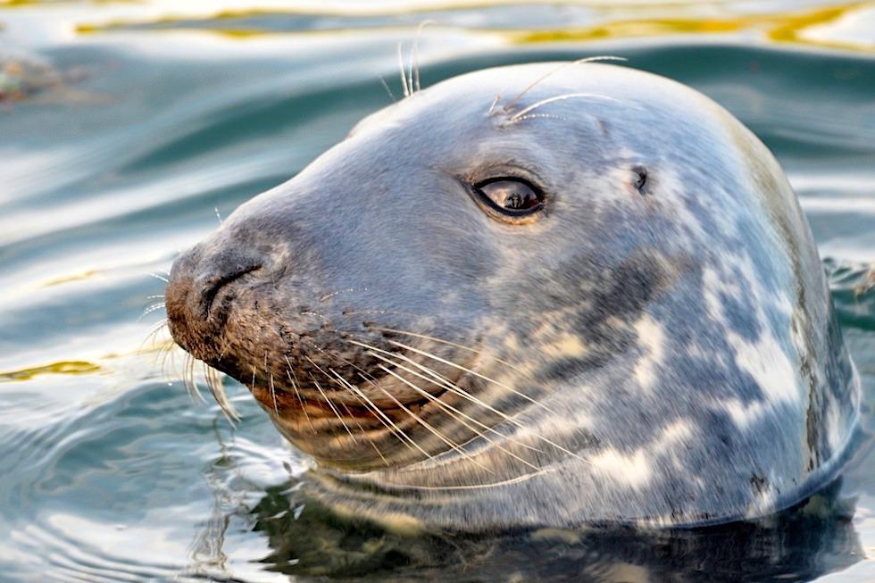 Hundsrobbe - Keine außerlichen Ohren - Robben Unterscheidungsmerkmale