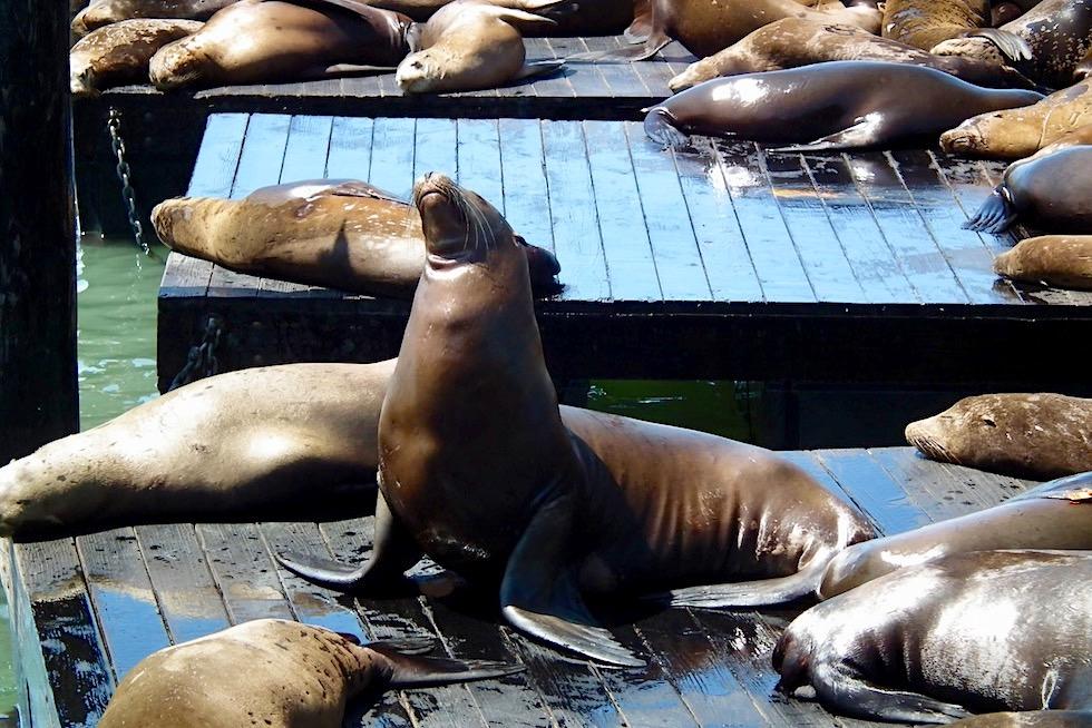 Unterschied Seehunde Seelöwen Seebären: Kalifornischer Seelöwe - Pier 39 in San Francisco