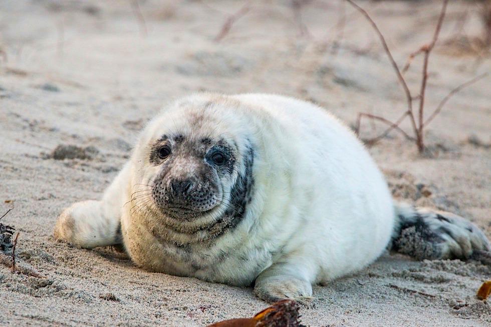 Kegelrobbe - Jungtier auf der Nordseeinsel Helgoland - Schleswig Holstein