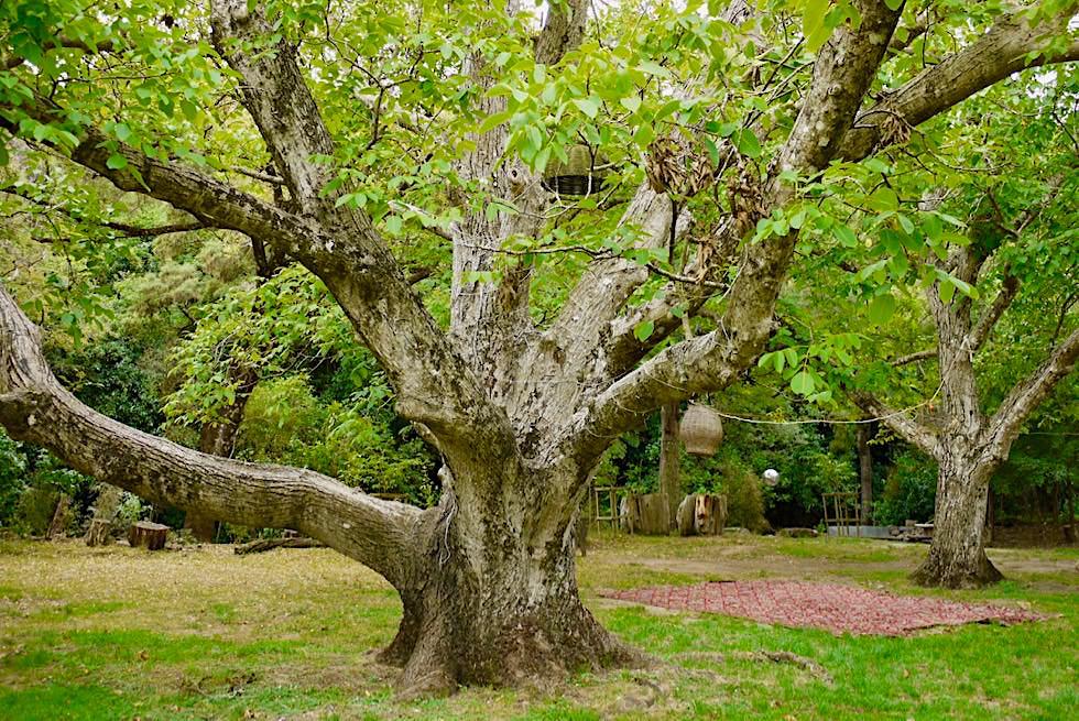Little River Campground - Uralte Bäume, grüne Oase & Okuti River verleihen diesem Kult-Campingplatz eine besondere Atmosphäre - Banks Peninsula - Südinsel Neuseeland