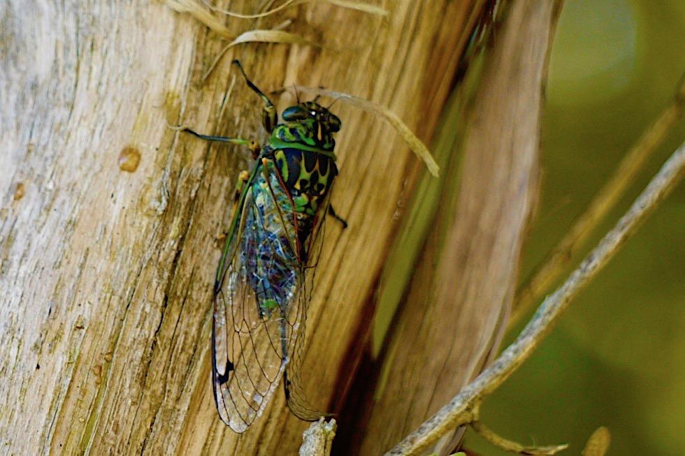 Neuseeländische Singzikade - Choros Cicade - das Insekt, das die lautesten Geräusche macht