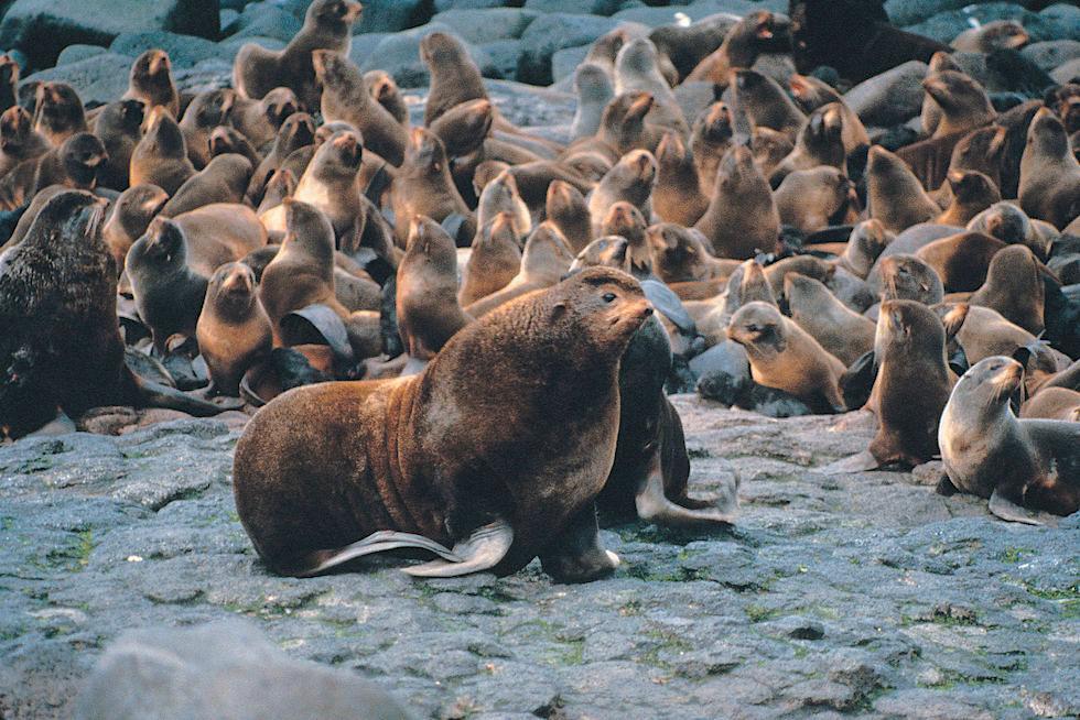 Nördliche Seebären - Verbreitungsgebiet: Bering See & Nordpazifik - Unterschied Seehunde Seelöwen Seebären