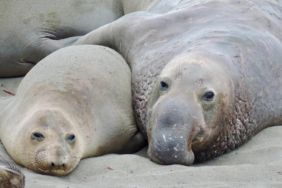 Nördlicher Seeelefant - Pazifik-Küste Kalifornien
