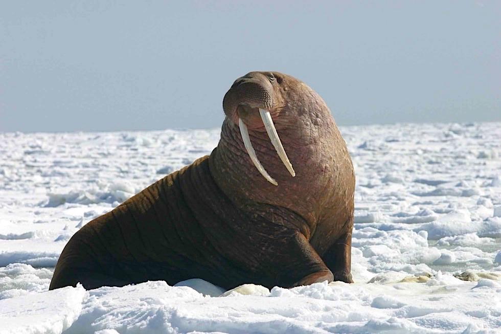 Unterschied Seehunde Seelöwen Seebären: das Pazifik Walross