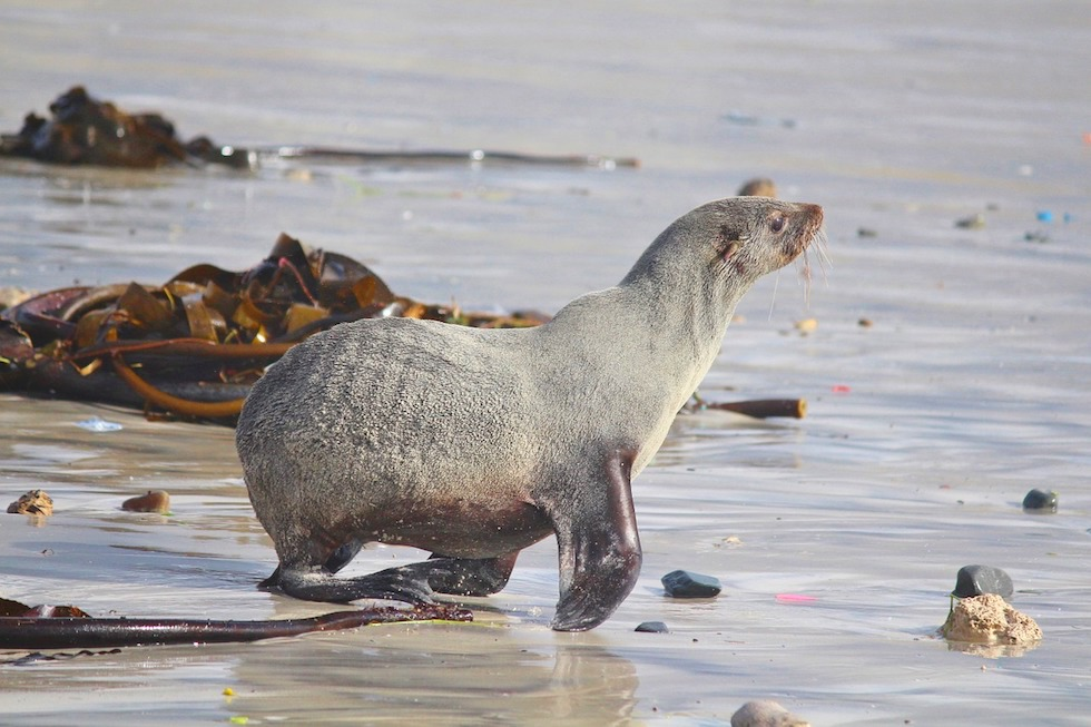 Unterscheidungsmerkmale Seehunde Seelöwen Seebären: Seebär haben einen behänden Gang auch an Land - Seebär rennt ins Meer