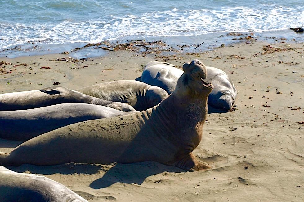 Nördliche Seeelefanten - Pazifikküste von Süd-Kalifornien