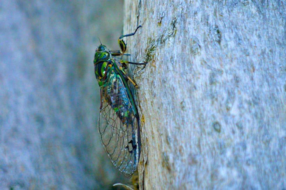 Singzikade oder Choros Cicada: das Insekt, das die lautesten Geräusche machen kann - endemisch und überall in Neuseeland zu hören