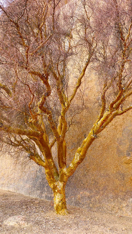 Spitzkoppe - Sich selbstschälender Butterbaum: wie ein Gemälde aus Öl - Namibia