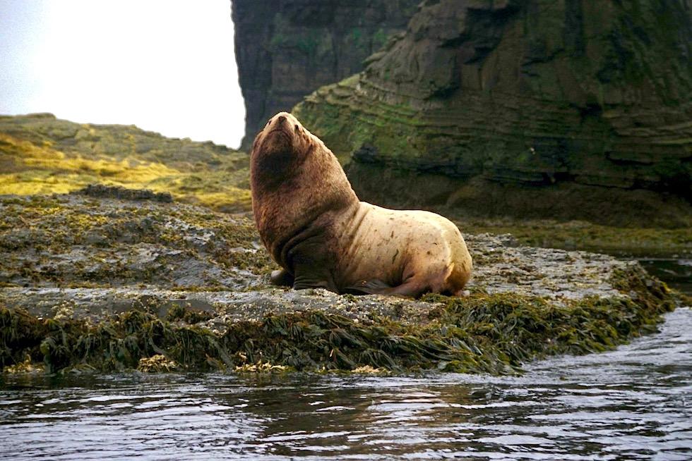 Unterschied Seehunde Seelöwen Seebären: Stellersche Seelöwe ist auf den Inseln zwischen Russland, Japan & Alaska großteils in der Bering See zu finden