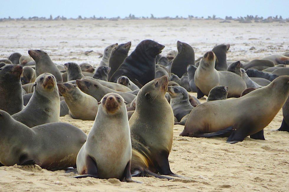 Unterschied Seehunde Seelöwen Seebären: Südafrikanische Seebären am Cape Cross - Namibia