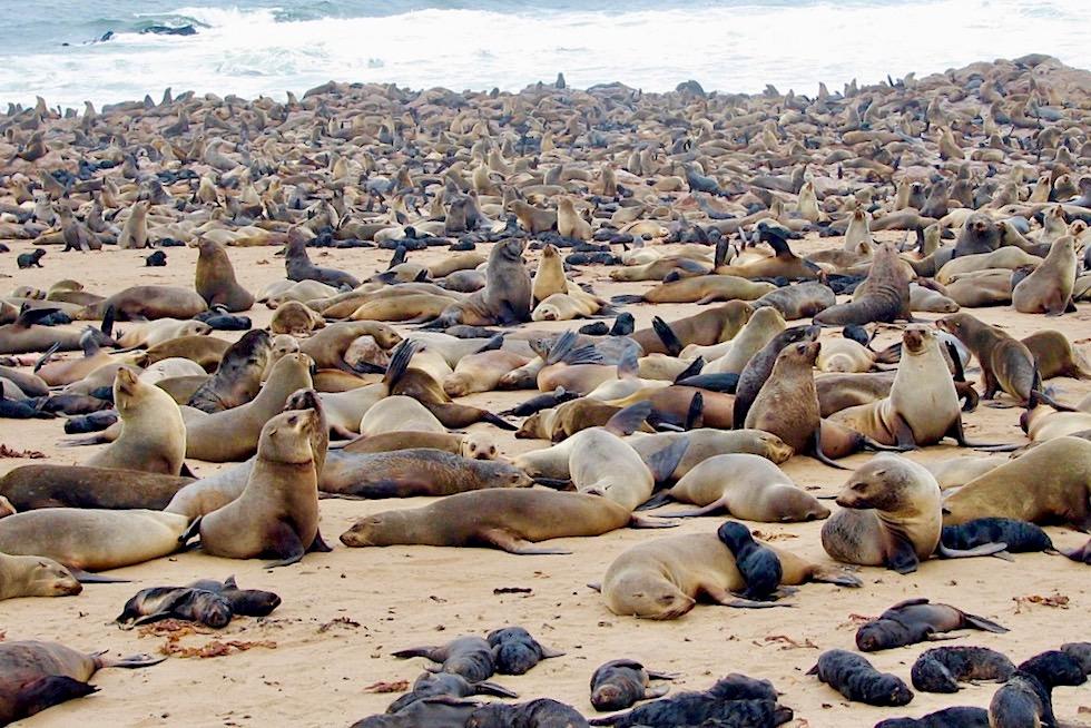 Unterschied Seehunde Seelöwen Seebären: Südafrikanischer Seebären Harem - Cape Cross - Namibia