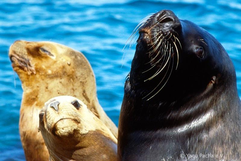 Südamerikanische Seelöwen oder Mähnenrobbe: tropfnass ist nichts von der dicken Mähne zu erkennen