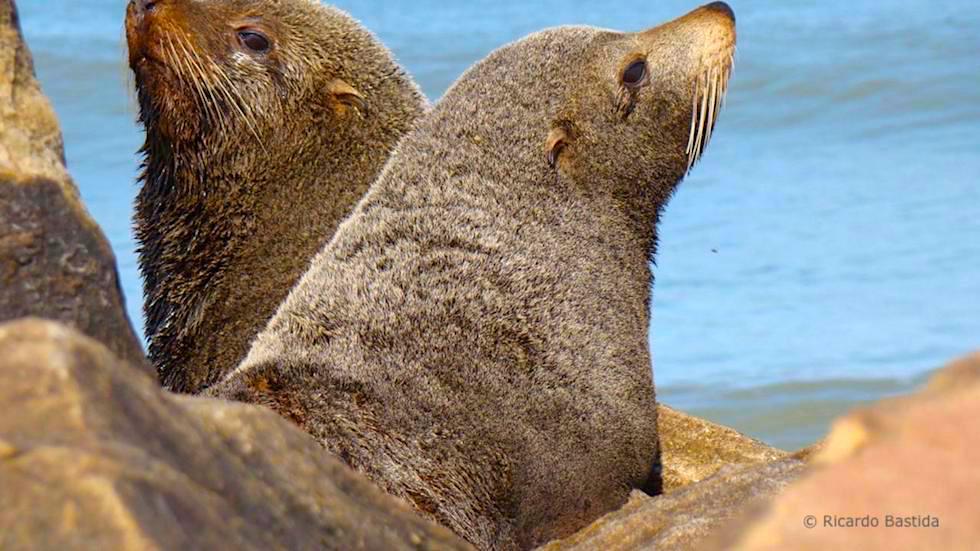 Unterschied Seehund Seelöwe Seebär: Südamerikanischer Seebär