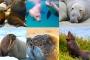 Unterschied Seehunde, Seelöwen, Seebären, Walrosse, Seeelefanten – Alles Robben!