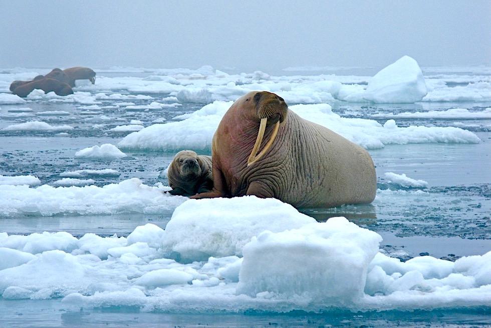 Unterschied Seehund Seelöwe Seebär: Walross im Eis mit Jungtier