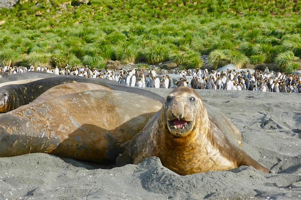 Südlicher Seeelefant: größte Robbenart der Welt - Südgeorgien - Südatlantik