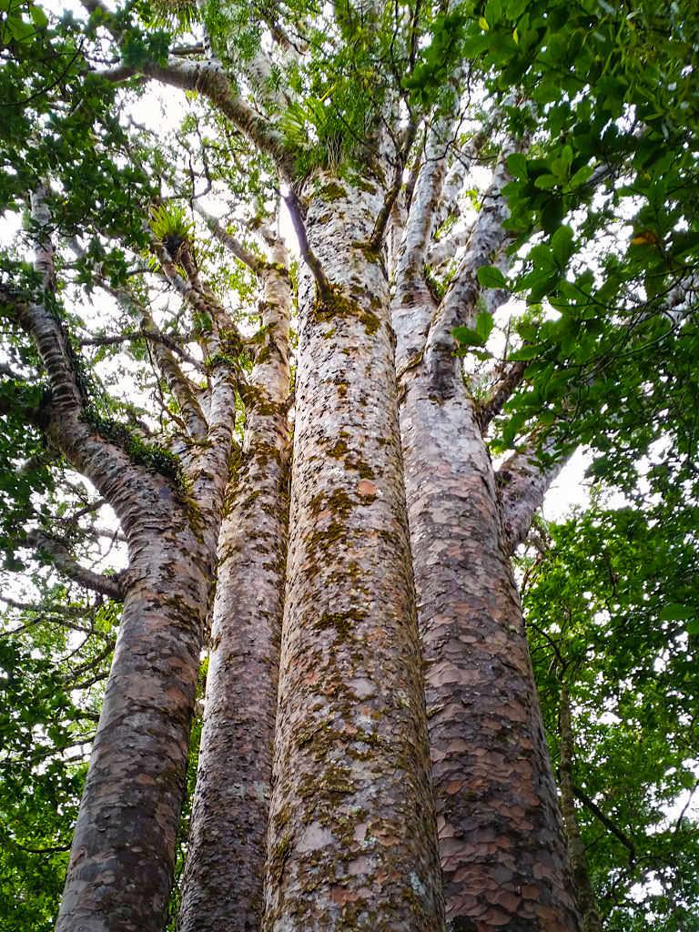 Four Sister - Waipoua Forest - Neuseeland, Nordinsel