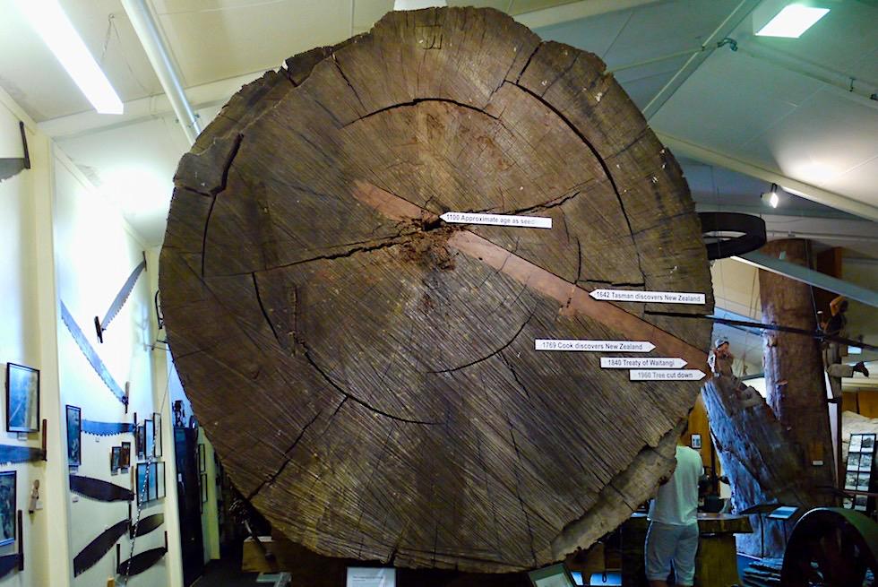 Jahresringe eines riesigen Kauri Baums - Kauri Museum - Nordinsel Neuseeland