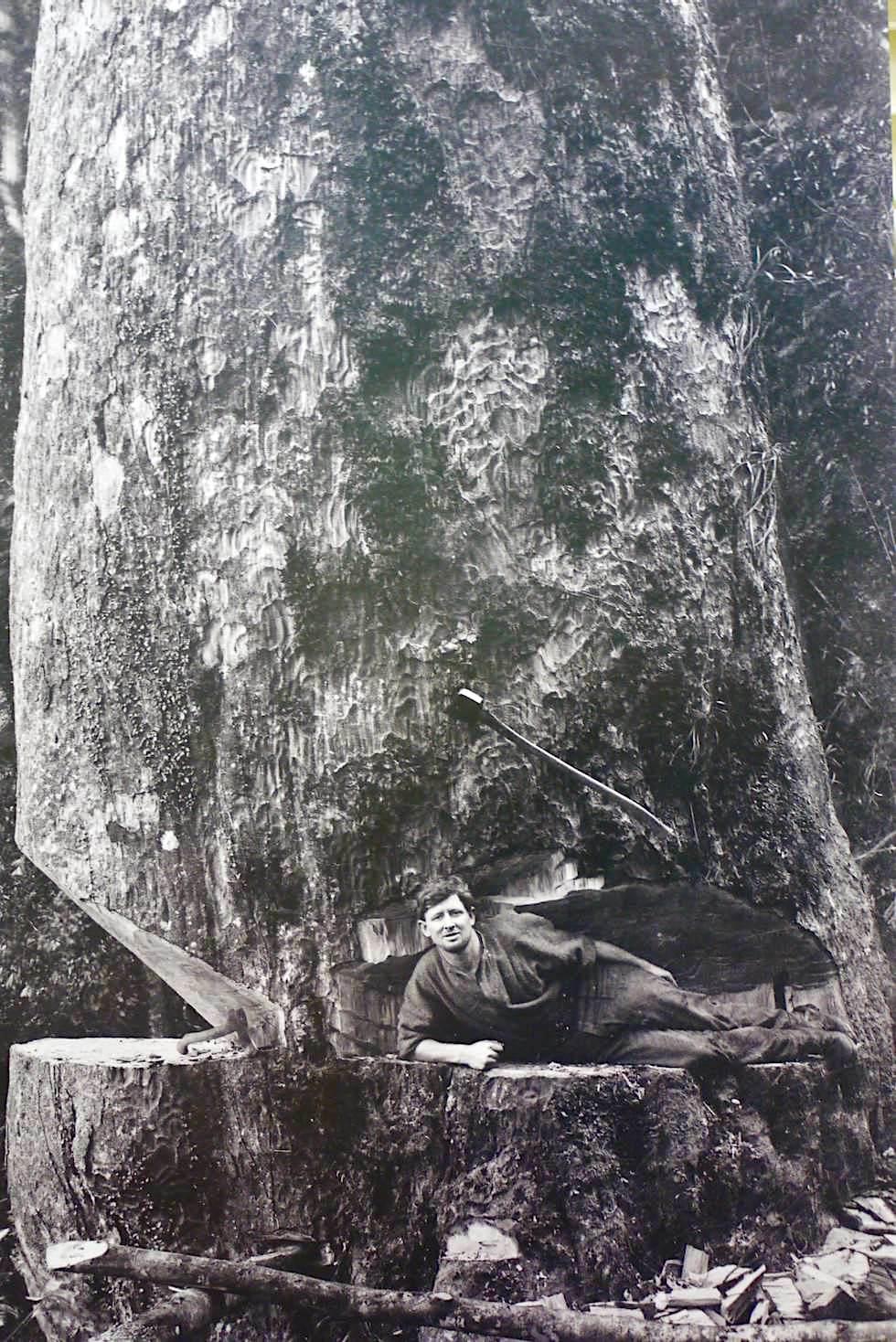 Kauri Baum - Der Pionierzeit der Holzfäller widmet sich das Kauri Museum - Nordinsel, Neuseeland