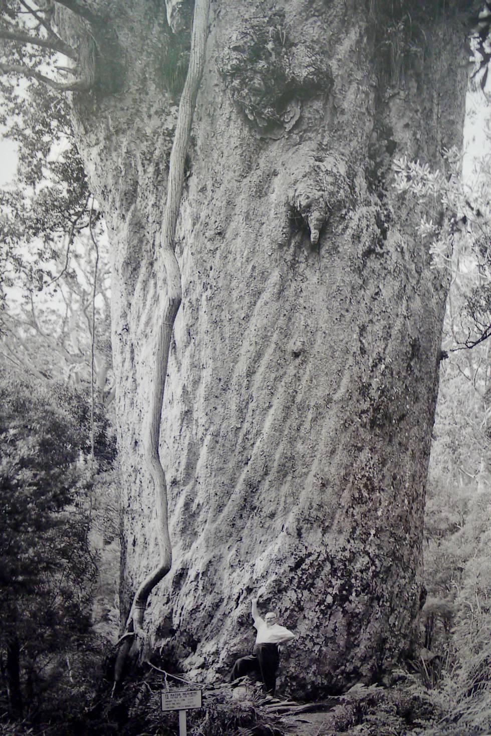 Kauri Museum - Gigantischer Kauri Baum zur Pionierzeit im Vergleich zum Mensch - Nordinsel Neuseeland