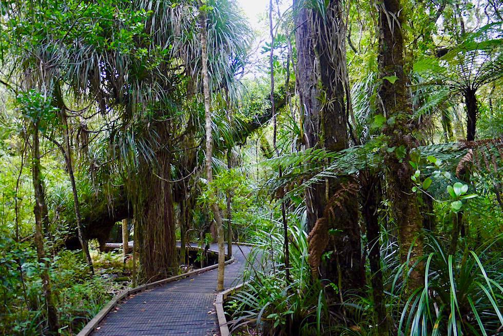 Kauri Walks - Waipoua Forest: Boardwalks führen zu gigantischen Kauri Bäumen - Nordinsel Neuseeland
