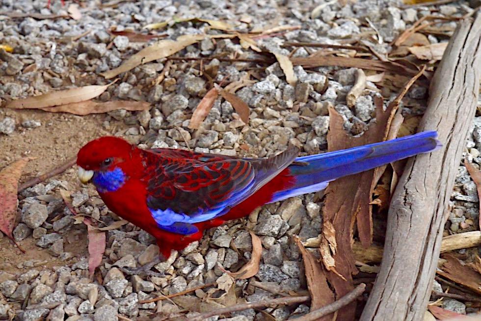 Pennantsittich oder Crimson Rosella: eine australische Papageienart mit leuchten rot-blauen Gefieder - Belgrave - Victoria