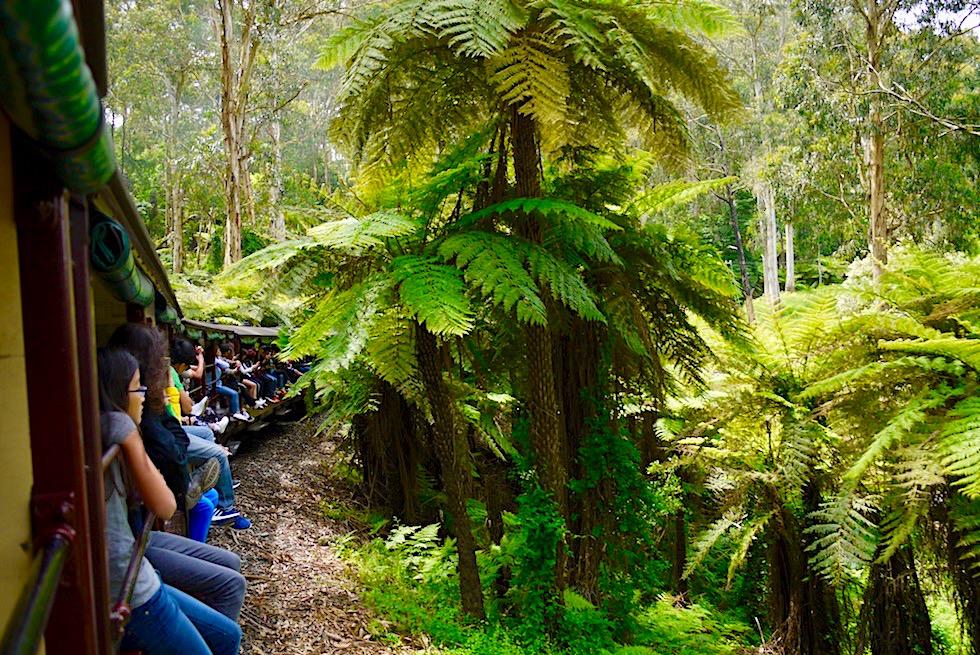 Puffing Billy Railway - Die historische Dampflok zischt vorbei an den gigantische Baumfarnen der Dundenongs - Melbourne, Victoria