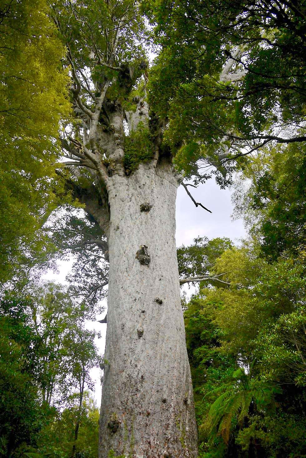 Tane Mahuta: Der größte Kauri Baum von Neuseeland - Nordinsel