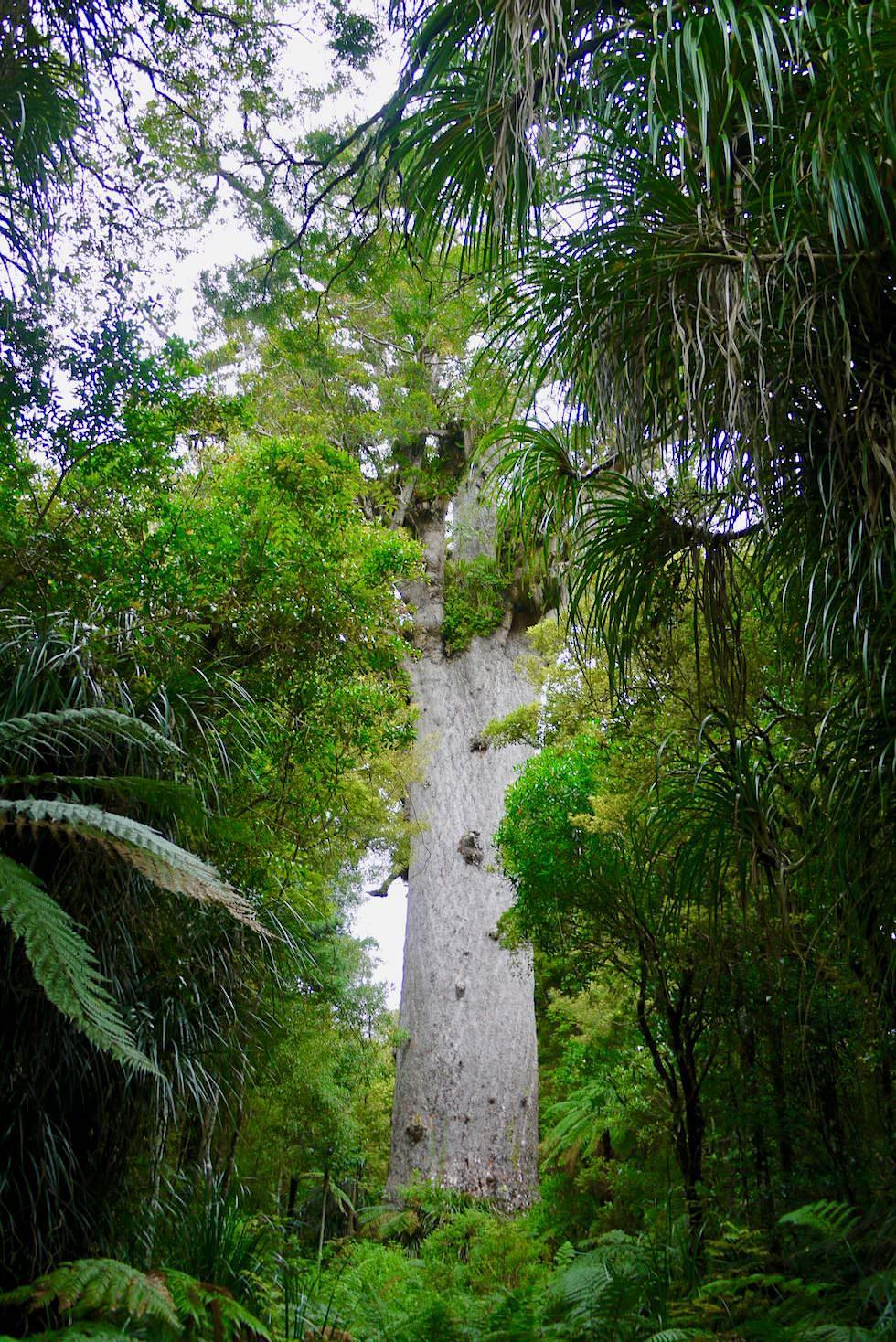 Tane Mahuta: Herr des Waldes - Waipoua Forest - Northland - Nordinsel Neuseeland
