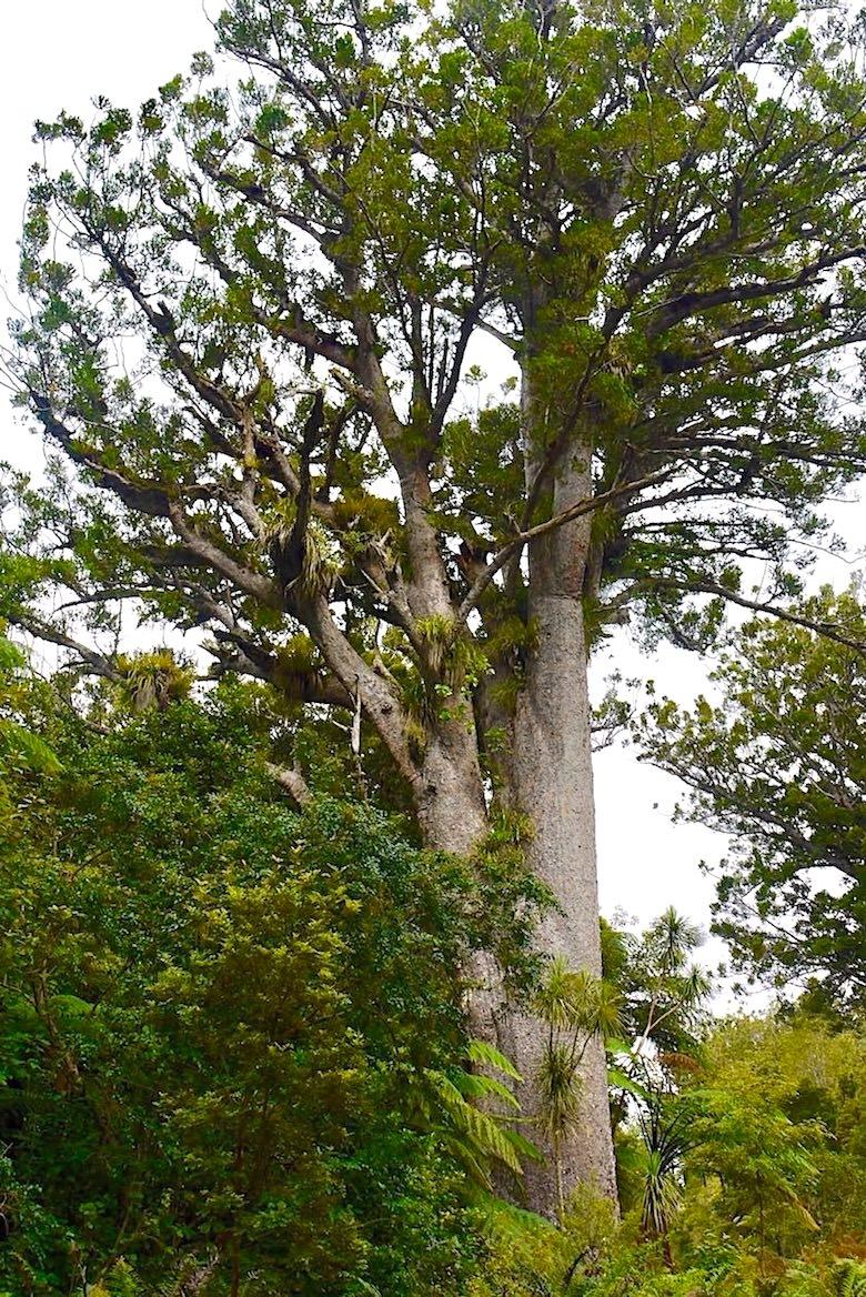 Waipoua Forest - Gigantische Kauri Bäume säumen den Straßenrand - Northland - Nordinsel Neuseeland