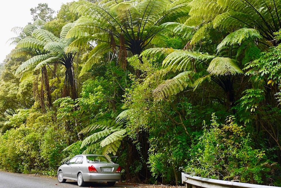 Waipoua Forest - die höchsten Kauri Bäume & riesige Baumfarne - Northland - Nordinsel Neuseeland