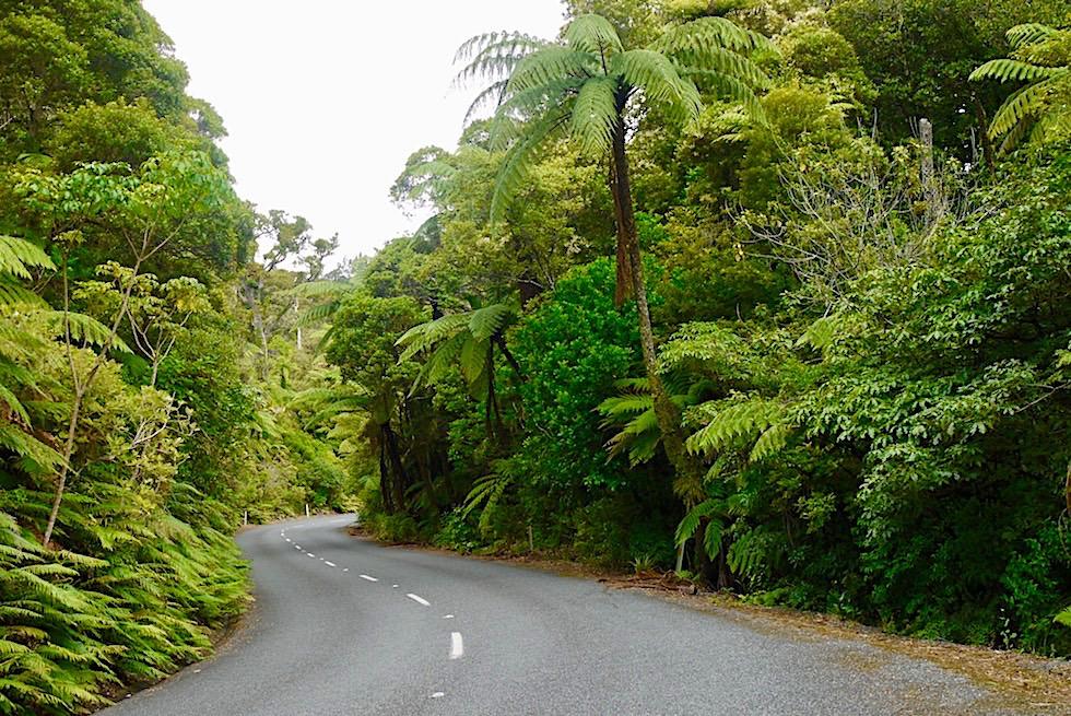 Waipoua Forest - State Highway 12 führt mitten durch die riesigen Kauri Bäume - Nordinsel Neuseeland