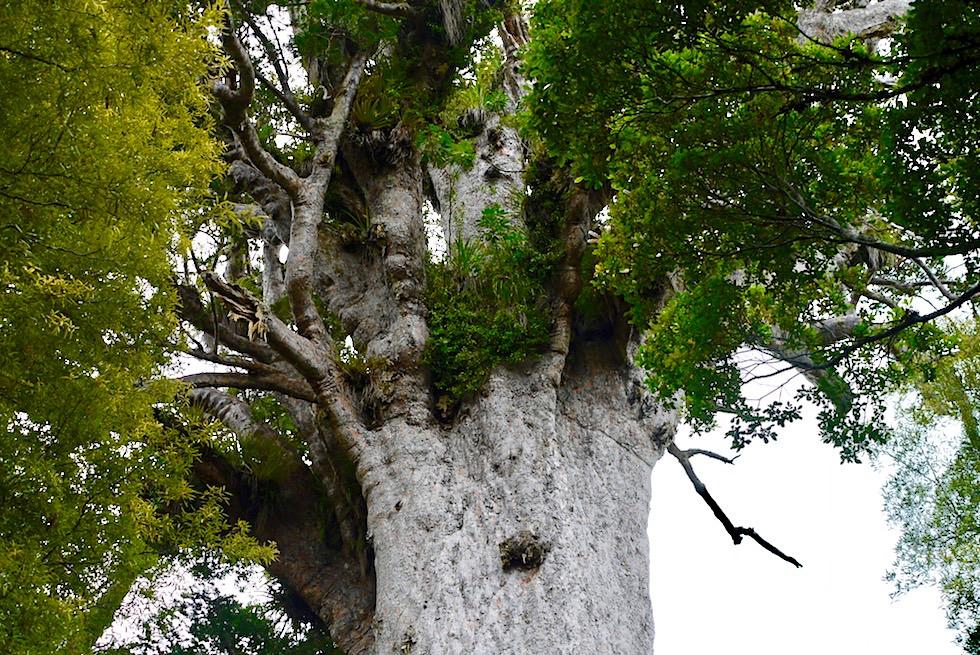 Waipoua Forest - Die Baumkrone des Tane Mahuta: Herr des Waldes - Nordinsel Neuseeland