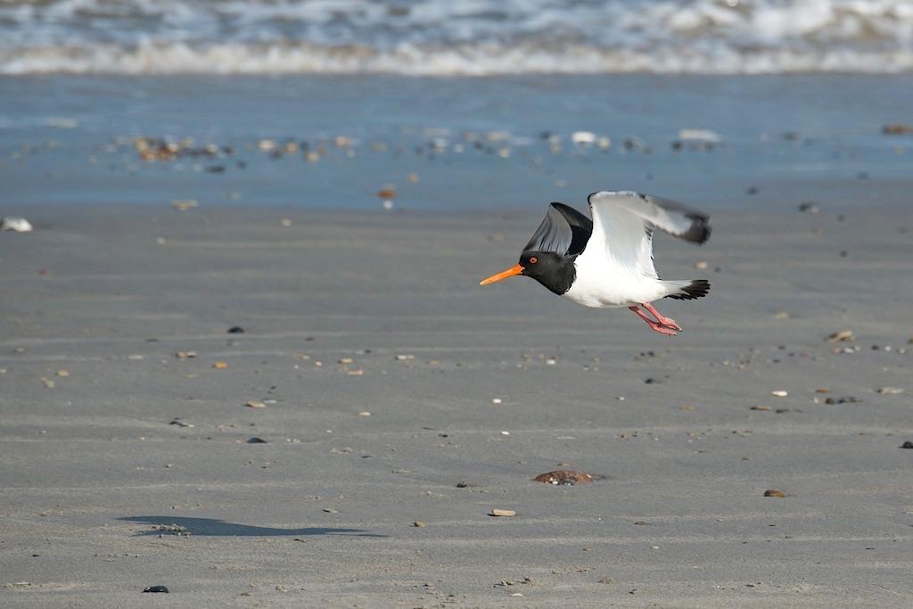 Austernfischer - immer präsenter Wattvogel - Nordsee Wattenmeer - Ostfriesische Inseln