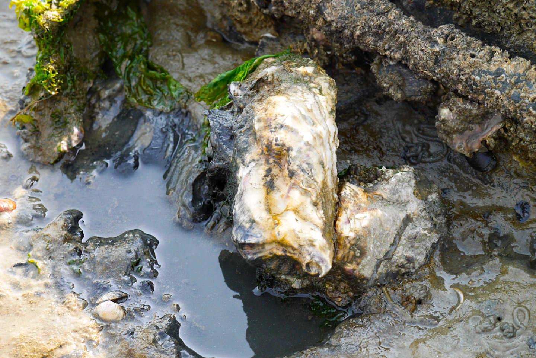 Borkum - Austern Plage im Wattenmeer - Ostfriesische Inseln
