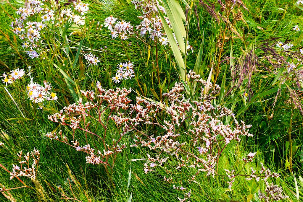 Borkum - Typische Salzwiesen Blumen: Strandaster & Strandflieder - Ostfriesische Inseln