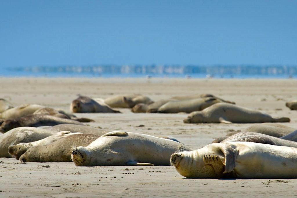 Borkum -Seehunde allen sich in der Sonne auf der Seehundbank - Ostfriesische Inseln