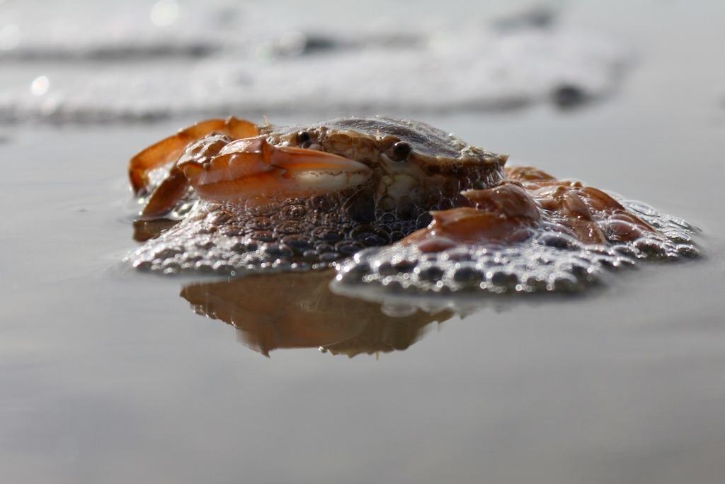Krebs beim Fressen im Watt - Nordsee - Ostfriesische Inseln
