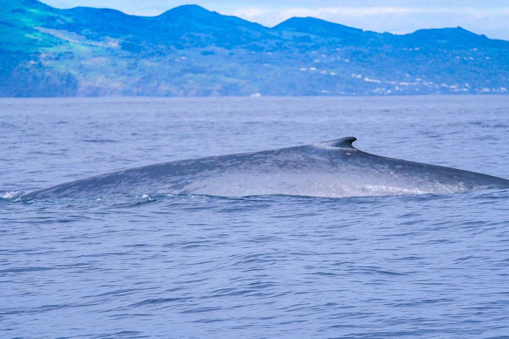 Faszinierend & gigantisch: der Rücken eines Blauwals - Walbeobachtung auf Pico - Azoren