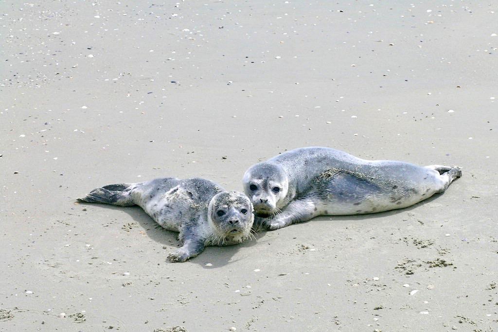 Borkum - Robbenbabies & junge Seehunde bei der Robbenbank - Ostfriesische Inseln