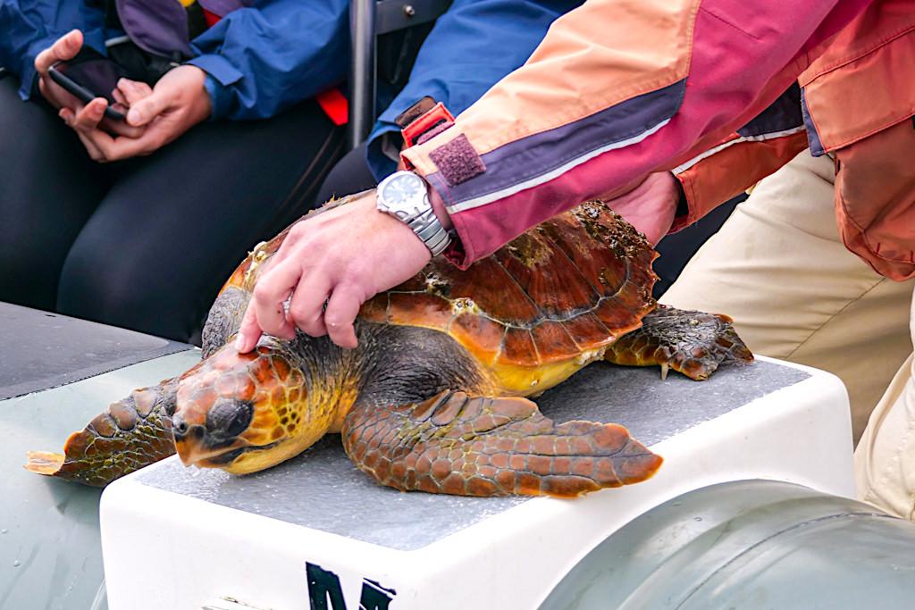 Mit Espaco Talassa auf Walbeobachtungstour - Falsche Karettschildkröte - Pico, Azoren
